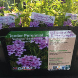Verbena 'Seabrooks Lavender' 1ltr pot