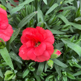 Dianthus 'Oscar Ruby Red' - 10.5cm pot