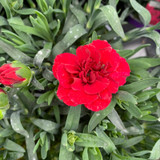 Dianthus 'Oscar Dark Red' - 10.5cm pot