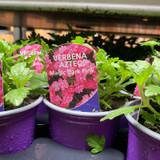 Verbena 'Magic Dark Pink' - 9cm pot