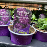 Verbena 'Magic Purple' - 9cm pot