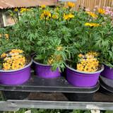 Bidens 'Lemoncello' - 9cm pot