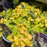 Bacopa 'Golden Leaf' - 9cm pot