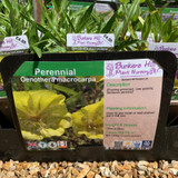 Oenothera macrocarpa (Evening Primrose) 1ltr