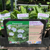 Pulmonaria 'Sissinghurst White' 1ltr pot
