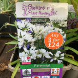 Agapanthus 'Double Diamond' 3ltr pot