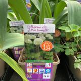Allium stipitatum Mount Everest 3ltr pot