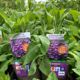 Digitalis Purpurea 'Dalmation Purple' (Foxglove) 3ltr pot