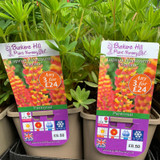 Lupin West Country 'Gladiator' (Lupinus) 3ltr pot