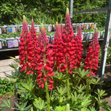 Lupin West Country 'Beefeater' (Lupinus) 3ltr pot