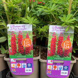 Lupin West Country 'Redrum' (Lupinus) 3ltr pot