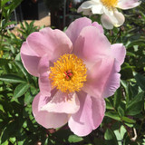 Peony lactiflora 'Nymphe' (Peonia) 3ltr pot