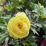 Peony suffruticosa 'High Noon' (Tree Peony) 3ltr pot