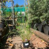Calamagrostis x acutiflora 'Karl Foerster' (Grass) 3ltr