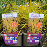 Carex elata 'Aurea' (Grass) 3ltr pot