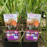 Cortaderia selloana 'Pink Feather' 3ltr pot