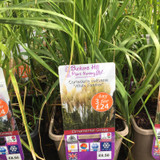 Cortaderia selloana 'White Feather' 3ltr pot