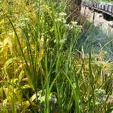 Luzula nivea (Grass) 3ltr
