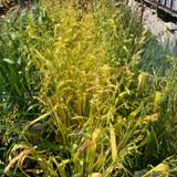 Milium effusum 'Aureum' (Grass) 3ltr