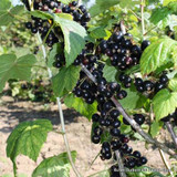 Blackcurrant 'Ebony' 2yr