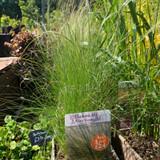 Stipa tenuissma (Grass) 3ltr