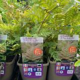 Dryopteris erythrosora (Fern) 3ltr pot