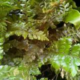 Polystichum polyblepharum (Fern)