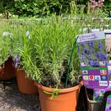 Lavender 'Essence Purple' (Lavandula angustifolia) 6.5ltr pot