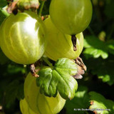 Gooseberry 'Hinnonmaki Green'