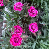 Dianthus 'Purple Wedding'
