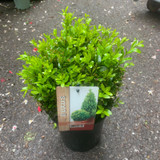 Box ball - 20cm approx. (Buxus)
