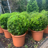 Box ball - 30-35cm approx. (Buxus)