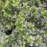 Euonymus japonicus 'White Spire' 6 pack