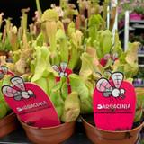 Sarracenia 'Purpurea Venosa' -Fly Catcher