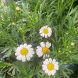 White Marguerite - Small