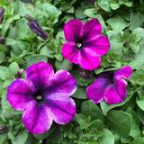 Petunia 'Neon Violet'