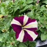 Petunia 'Blackcurrant & Cream Stripe'