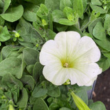 Petunia 'Cream with Lime'