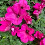 Petunia 'Bright Pink'