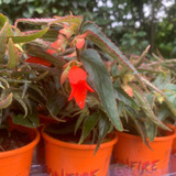 Begonia - Bonfire