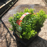 Box- pack of 6 XL (Buxus sempervirens)