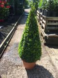 Box Cone 80-90cm (Buxus sempervirens)