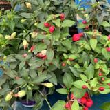 Fuchsia 'Bella Mix' Trailing - 10.5cm pot