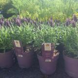Lavender 'Anouk' (Lavandula) Small