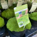 Pine Green Moss