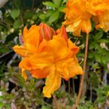 Rhododendron Azalea Knaphill 'Annabella'