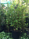 Griselinia littoralis (2ft)