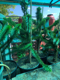 Medium Monkey Puzzle Tree (1ft)