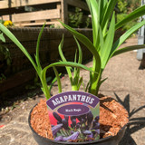 Agapanthus 'Black Magic'- 3ltr pot