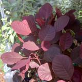 Cotinus coggygria 'lilla' - 3ltr pot